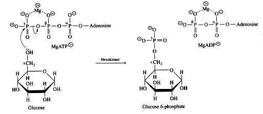enzymatic diagram of glycolysis hexokinase reaction  hexokinase reaction